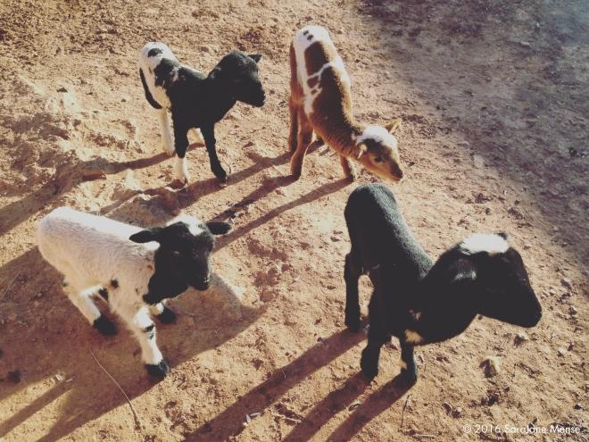 SJM_Baby_Goats