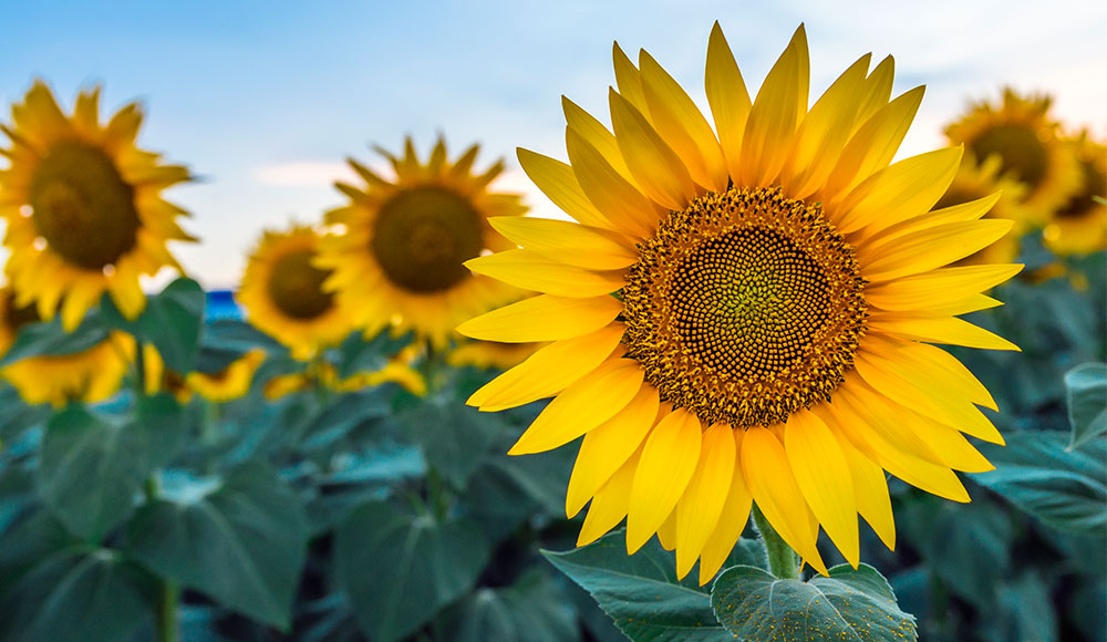 Falling for Sunflowers | How to Bring Sunflowers to Your Lifestyle